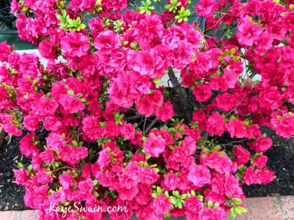 Lovely Central Roseville 95678 azaleas via Kaye Swain Roseville REALTOR