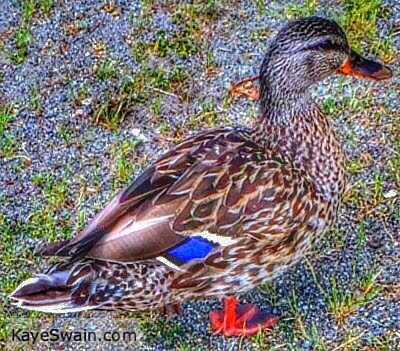 This duck is visiting the Mad Tea Party 2014 at Kaye Swain REALTOR site from Puget Sound Washington