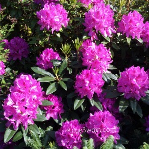 We love the multi colored Rhododendrons of Pierce County Washington 300