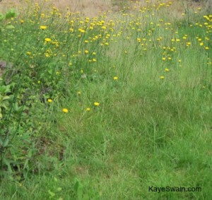 What looks like a lovely meadow of wildflowers is a fixxer uppers lawn that needs trimming