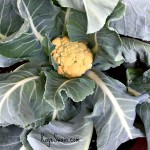 Kaye Swain Roseville CA real estate agent blogger sharing elderly parents yellow cauliflower