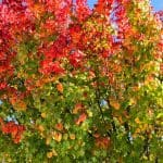 Sun City Roseville CA shows off autumn colors by Kaye Swain Roseville Real Estate Agent