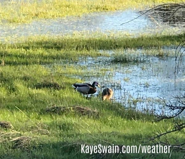 Kaye Swain sharing cute ducks enjoying rainy weather Roseville CA wm