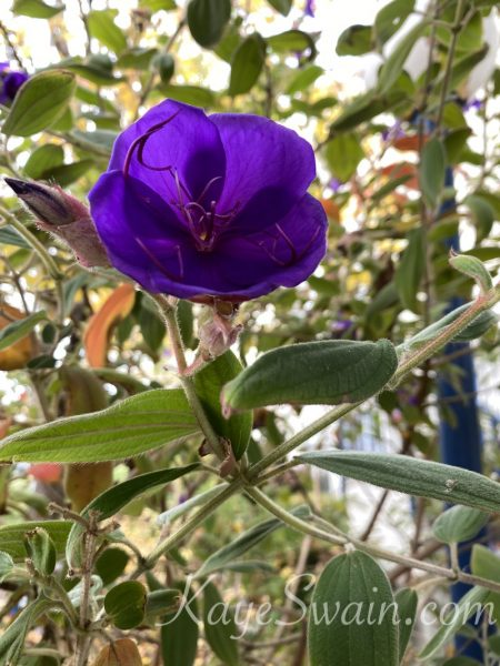 Love this purple flower from condo community in Rocklin CA