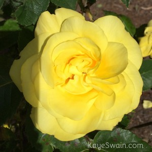 Another rose to remind me of Roseville California in Placer County