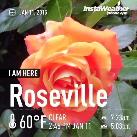 Balmy weather and roses in January are two reasons I love Roseville CA-Kaye Swain REALTOR