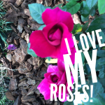 I love growing roses as did my sweet grandmother-Kaye Swain Roseville CA REALTOR