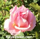 I love the roses of Roseville CA and beyond-Kaye Swain REALTOR in Roseville CA