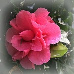 I love this gorgeous camellia-so similar to my old Roseville CA camellias-Kaye Swain REALTOR