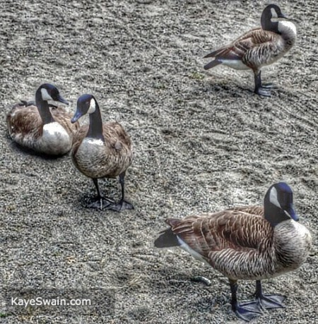 Love these geese visiting at my REALTOR site KayeSwain