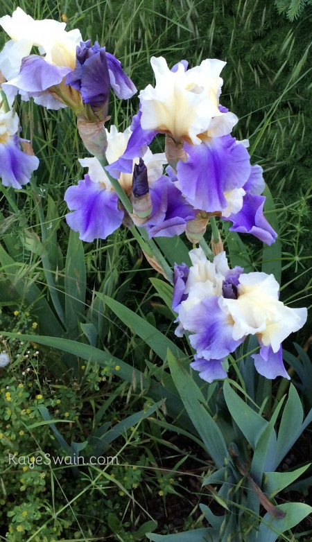 Purple and white iris put a smile on my face in spring-Kaye Swain REALTOR